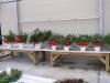 christmas-potted-greens